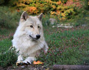 UniquePhoto-Wolf-Conservation